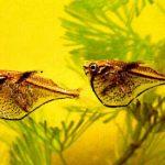 Карнегиелла марта или рыба-топорик черное крыло