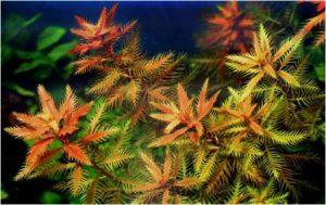 Прозерпинака палюстрис (Proserpinaca palustris)