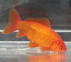 Обыкновенная золотая рыбка происхождение