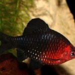 Барбус черный (Barbus nigrofasciatus)