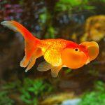 Пузыреглазка золотая рыбка
