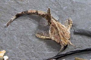 Бунацефал сом-банджо (Bunocephalus coracoideus)