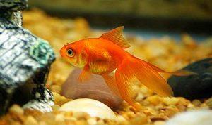 Веерохвост золотая рыбка (Carassius auratus auratus)