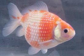 Жемчужина золотая рыбка (Carassius auratus auratus)