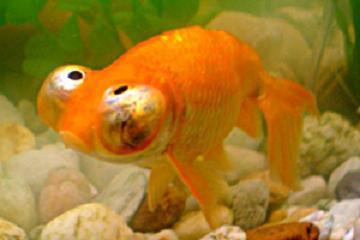Звездочет или небесное око золотая рыбка (Carassius auratus auratus)