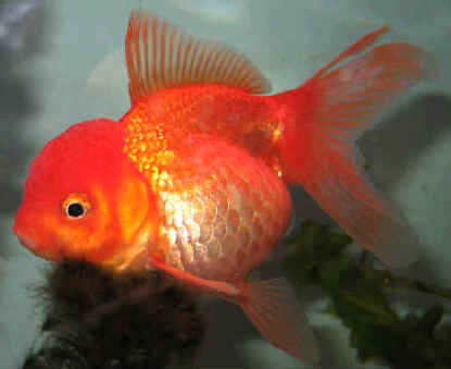 Оранда золотая рыбка