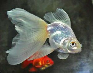 Веерохвост золотая рыбка беловатая
