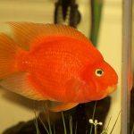 Красный попугай аквариумная рыбка