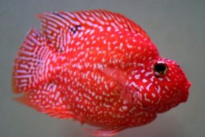 Красный попугай гибрид с техасской цихлидой