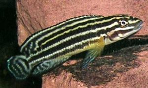 Юлидохромис регана (Julidochromis regani)