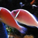 Рыба-клоун розовый скунс