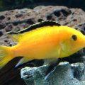 Еллоу или желтая цихлида-колибри (Labidochromis caeruleus)