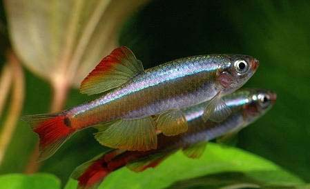 Кардинал (Tanichthys albonubes)