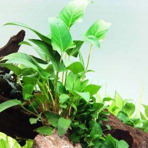 Анубиас грацилис (Anubias gracilis)