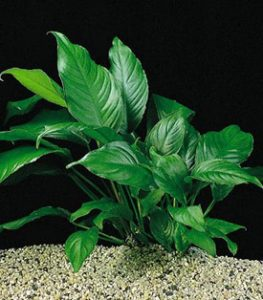 Анубиас гетерофилла (Anubias heterophylla)