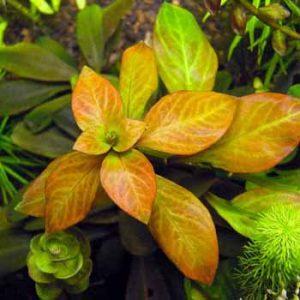 Людвигия овальная (Ludwigia ovalis)