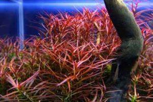 Людвигия аркуатаили узколистная (Ludwigia arcuata)