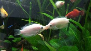 Целующийся гурами в аквариуме