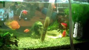 Как ухаживать за домашними рыбками